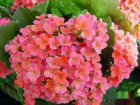 长寿花已经长花苞了如何养护开花